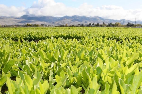 Green oak lettuce stretches across a field outside of San Juan Bautista, Calif.