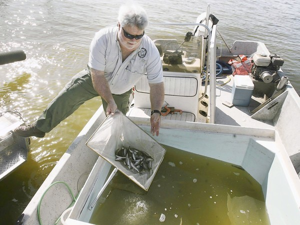 The Florida Fish and Wildlife Conservation Commission&#039;s Dennis Renfro stocks fingerling bass into Lake Dora in Tavares on Wednesday, March 28, 2012.