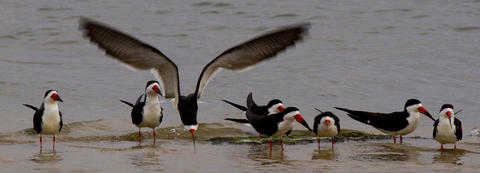 Black skimmers gather on a sandbar on Mill Creek in Hampton as one of the flock departs for another perch.