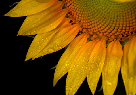 Overnight rain nourished thirsty plants like this sunflower in Newport News. Rain showers are predicted for most of the week for the area.