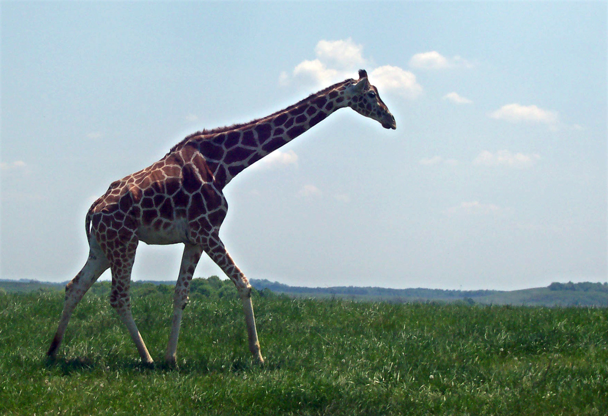 Giraffes are among the at-risk animals kept at The Wilds near Cumberland, Ohio.