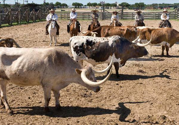 The Fort Worth Herd at the Fort Worth Stockyards. Daily cattle drives at 11:30 am and 4:00 p.m. Best to arrive 15 minutes prior to drive, watching from the Stockyards Visitors Center.