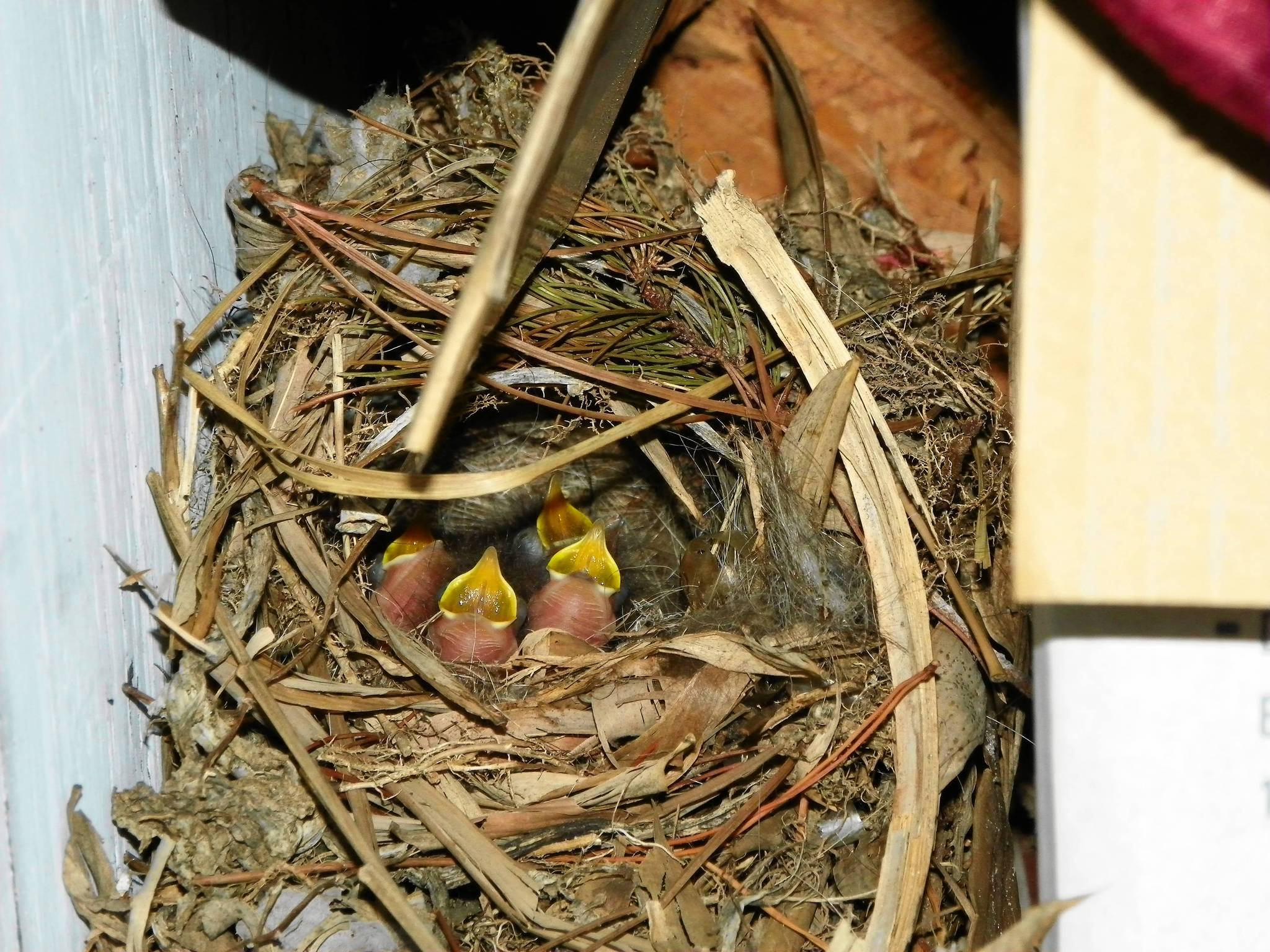 Four hungry Carolina wrens await food.  Unfortunately, the baby birds themselves soon became food for a equally hungry rat snake.