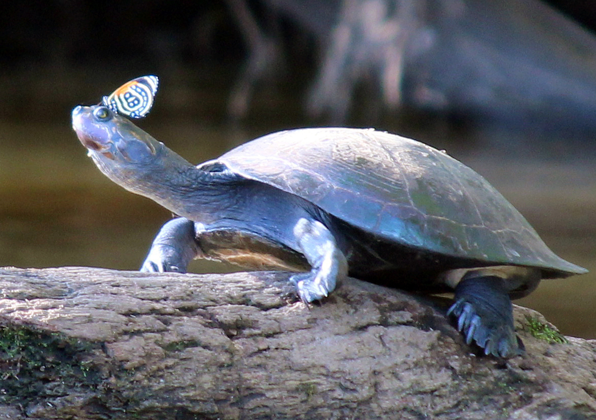 A butterfly sits on the head of a turtle on the edge of Lake Garzachocha, eastern Ecuador.