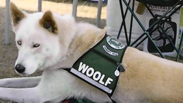 Woolf, a large all-white shepherd-huskey mix with startling blue eyes, is a familiar sight in a number of Lake County schools. He goes to classrooms with Missy Ziler as part of the READing Paws program, short for Reading Education Assistance Dogs.