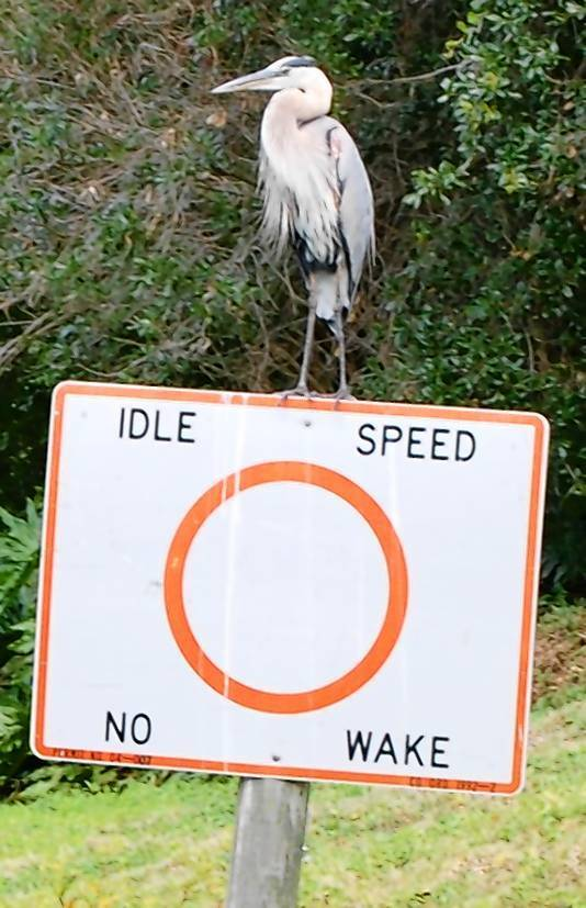 Great blue heron perched on a sign along the Dora Canal.