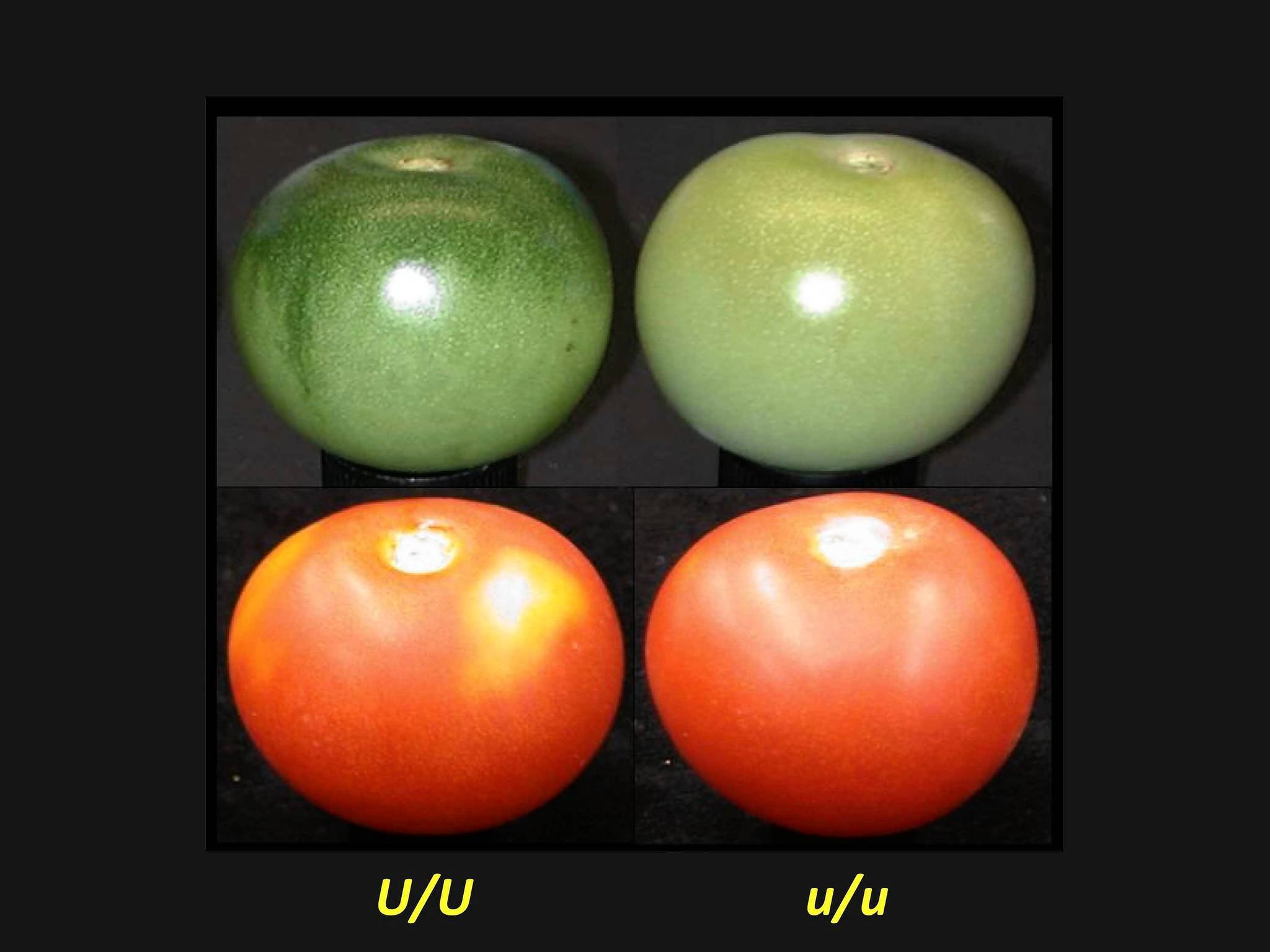 The tomatoes at left are normal, and the two on the right are bred for uniform color. New research suggests the ones on the left are likely to be tastier.