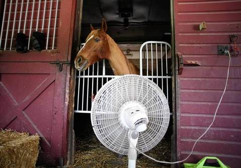 While the temperature outside the stable is climbing towards 100 degrees,Tucker, an 16-year-old quarter horse mix, takes advantage of a cooling fan whirling in front of his stall at the Danada Equestrian Center, Thursday, June 28, 2012 in Wheaton. Tucker has a condition that makes him more sensitive to higher temperatures.