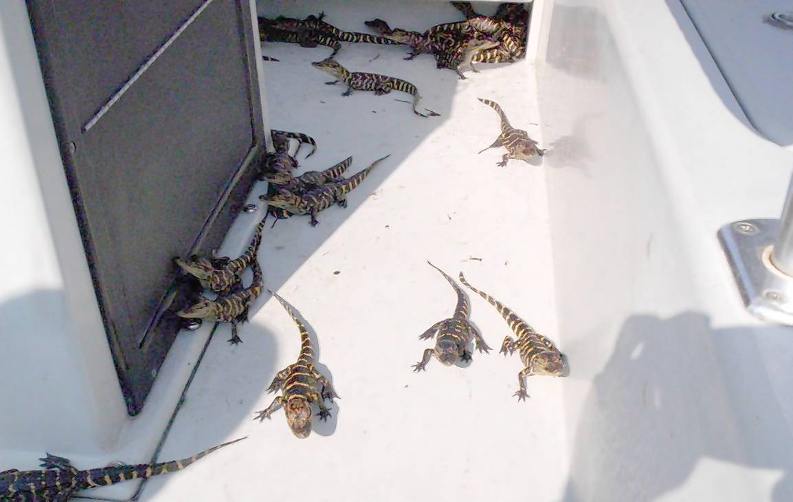 These baby alligators were photographed prior to being released in September 2011 during a gator-poaching case. Two men have been sentenced for illegal possession of the alligator hatchlings. The men were caught coming off Lake Apopka with two sacks full of more than 200 small alligators.