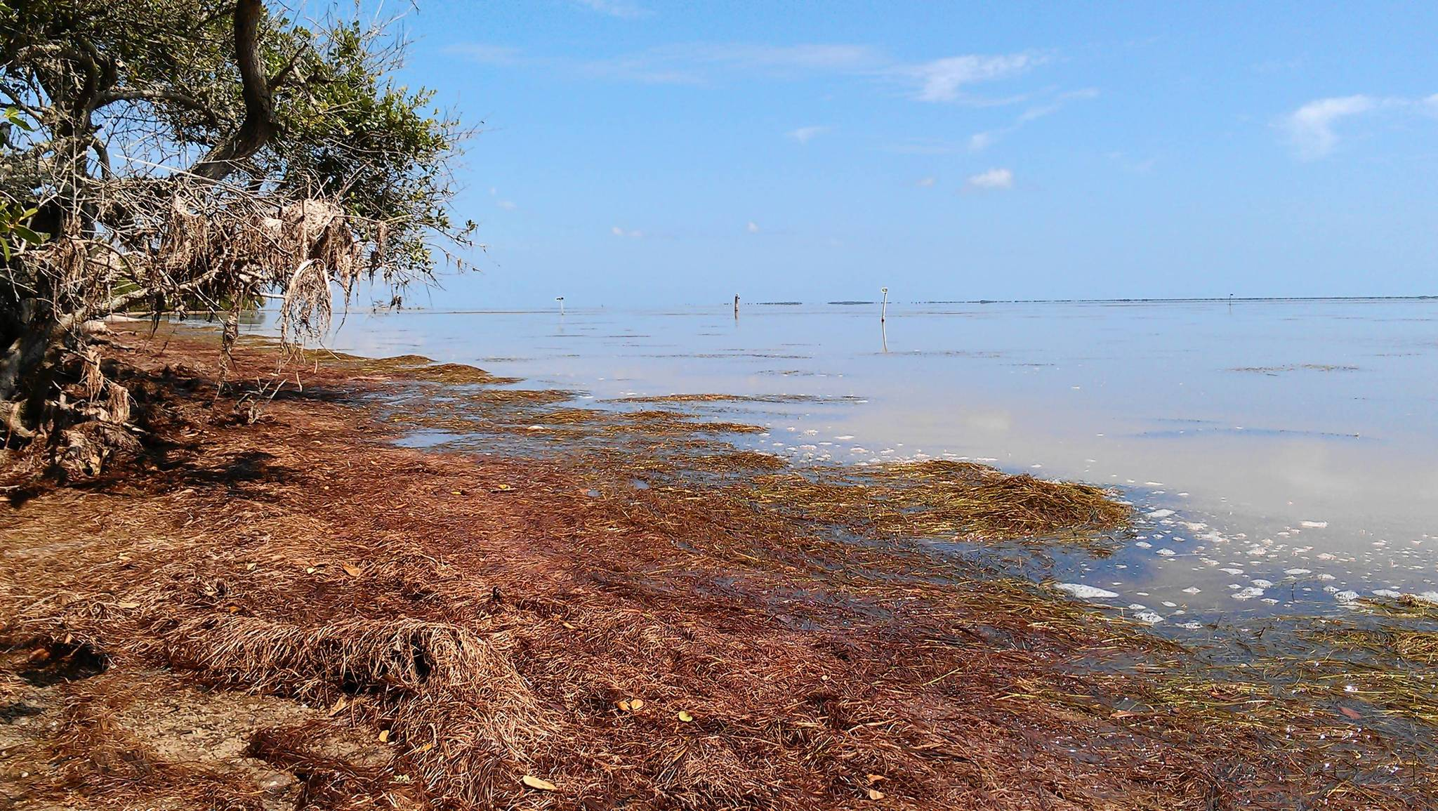Dead sea grass piles up on the shores of the Indian River Lagoon. Scientists think an intense algae bloom occurring in lagoon waters is blocking sunlight that sea grass needs to survive. (Kevin Spear, Orlando Sentinel)