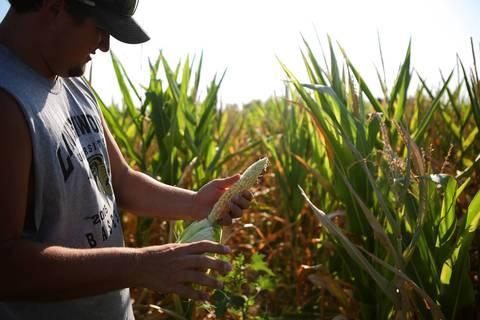 Brent Corners examines heat and drought damaged corn on his family farm near Centralia.