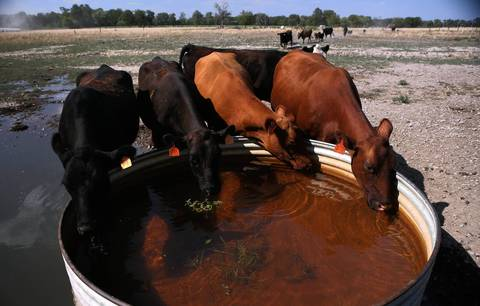 Cattle drink water on a farm near Waltonville in Jefferson County. Many cattle farmers in this area are resorting to watering their livestock from municipal water supplies as ponds and watering holes dry up.
