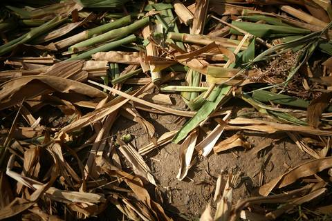 Corn that was disked under on the farm of Marvin and Sandy Frick near Mt. Vernon in Jefferson County.