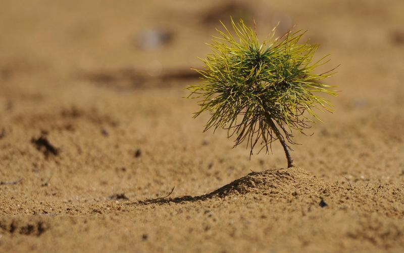 A young tree attempts to grow in the sand.