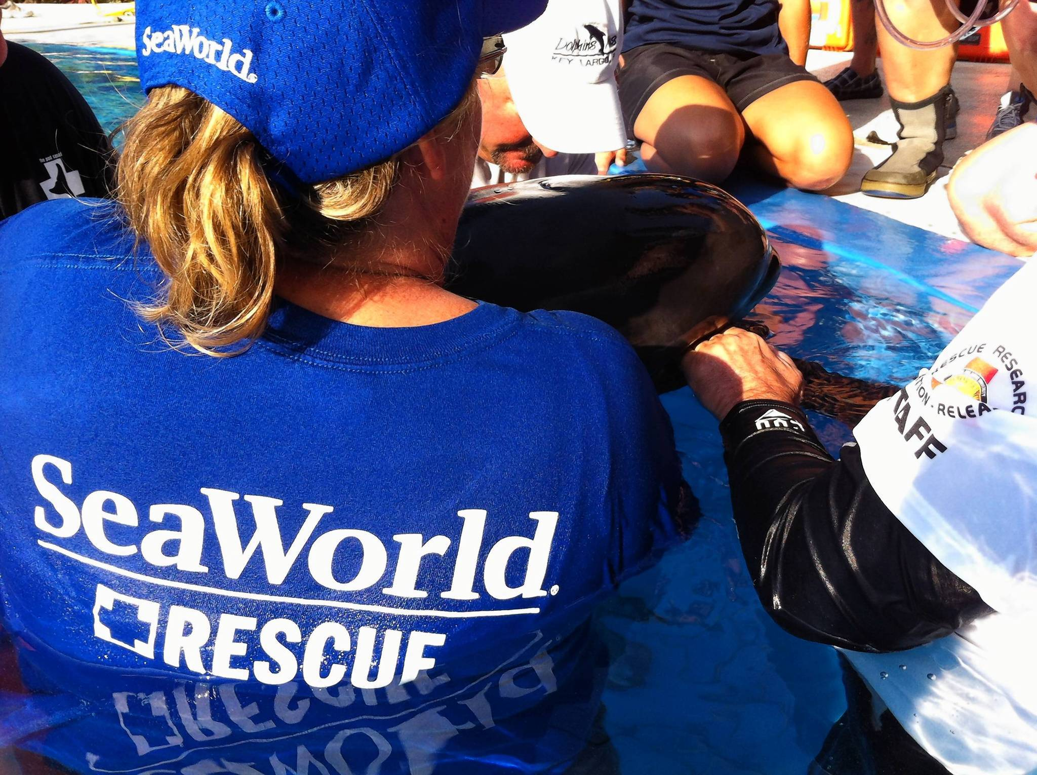 SeaWorld team members help care for a young pilot whale that became stranded on Saturday.