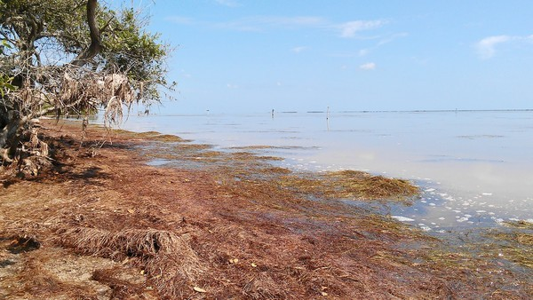 Dead sea grass piles up on the shores of the Indian River Lagoon. Scientist think an intense algae bloom occurring in lagoon waters is blocking sunlight that sea grass needs to survive.