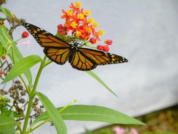 Monarch butterflies use scarlet milkweed as a host plant.