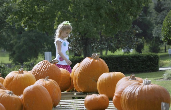 Grace Buffkin, 4,  walks by a display of pumpkins  at Trinity Evangelical Free Church in Eustis while her mom does some work on the patch.