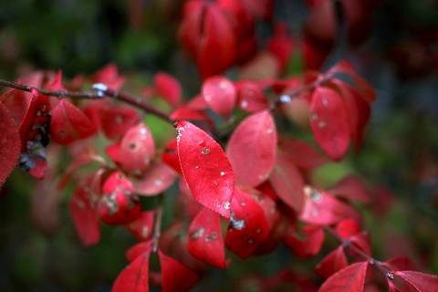 A Burning Bush shrub shows signs of leaf scorch in Winfield. Craig Casino, a certified arborist, says many trees are drying out and turning colors early this year due to weather-related stress.