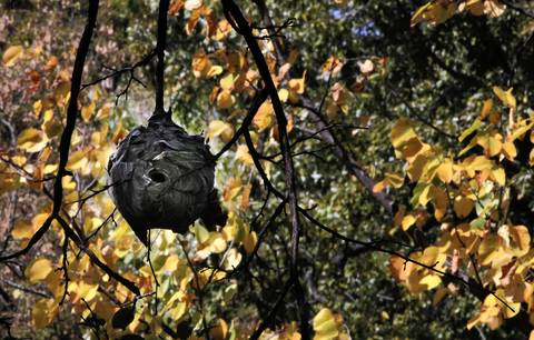 A hornet nest becomes visible as leaves begin to fall at Schiller Woods-South Forest Preserve along the Des Plaines River.