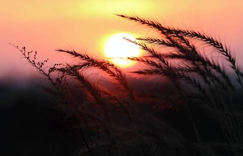 Grasses at 63rd Street Beach are silhouetted by the sunrise.