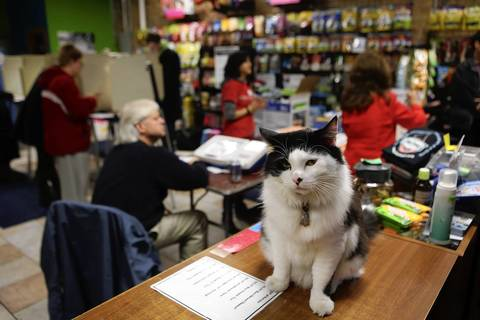 Pet shop cat Lady guards the front counter at Urbananimal, 1257 W. Devon Ave., as voters cast their ballots.