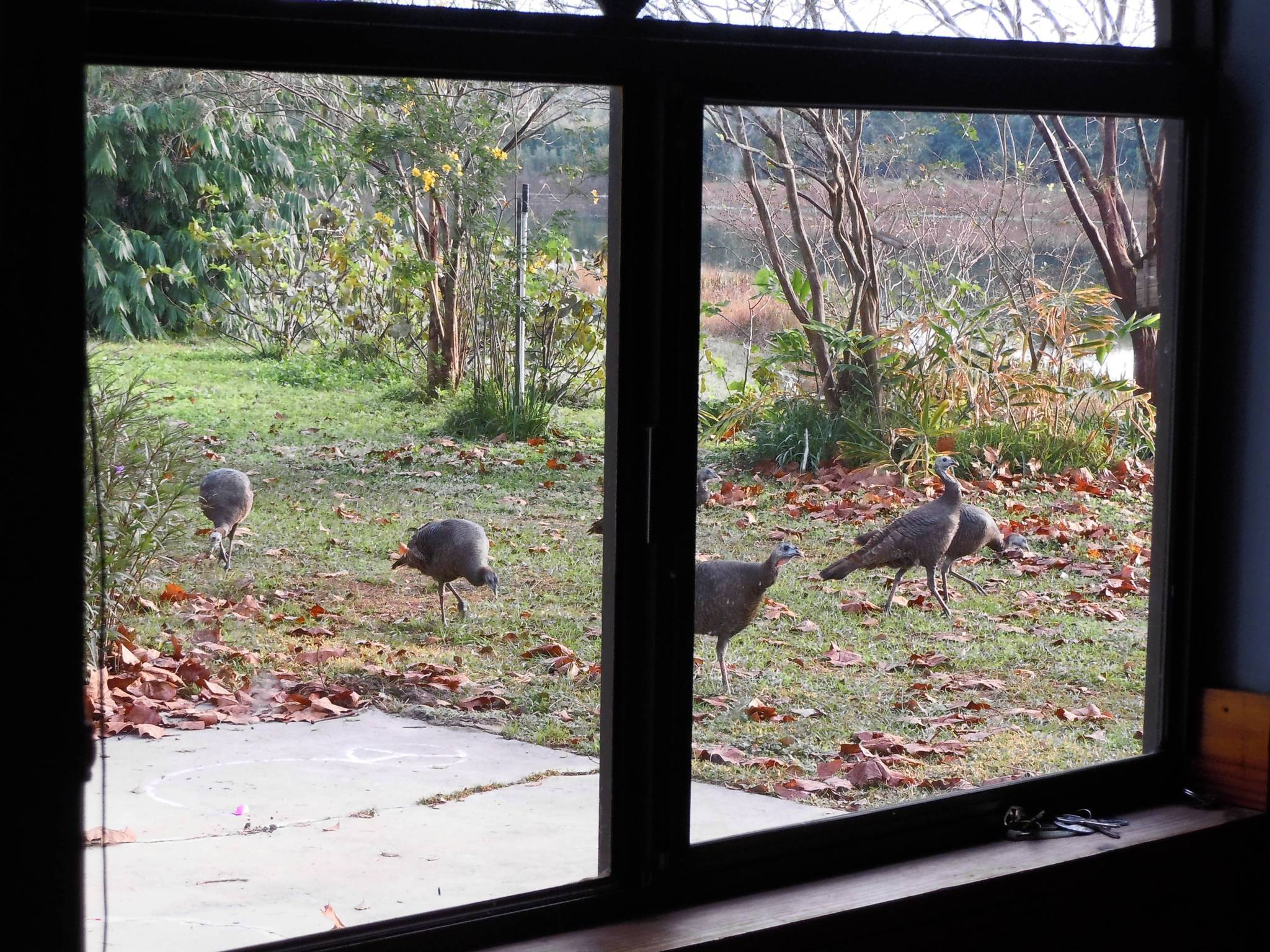As viewed from the kitchen window, a flock of female turkeys meanders close to the house.