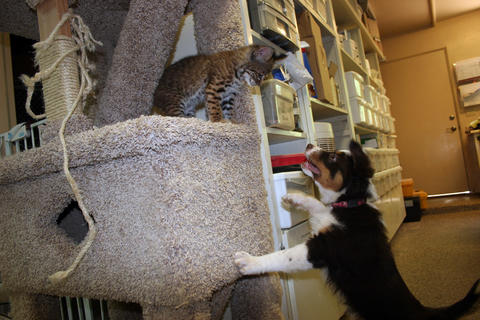 Yemaya the North American bobcat and an Australian Shepherd puppy play at the Southwest Wildlife Conservation Center in Scottsdale, Ariz.