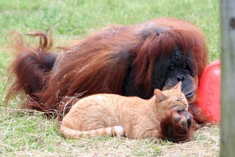 Tonda the orangutan and TK the cat relax at ZooWorld in Panama City, Fla.
