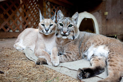 Robie the caracal (left) and Bear the bobcat snuggle at WildCat Haven Sanctuary in Oregon.