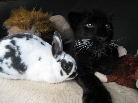 Lisa the rabbit and Paul the black leopard share a seat at Serengeti Park in Hodenhagen, Germany.