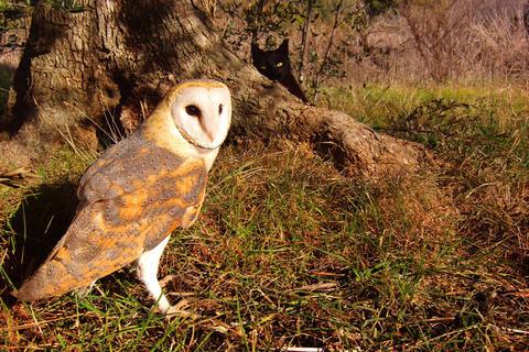 Gebra the barn owl and Fum the house cat play hide-and-seek in Tarragona, Spain.
