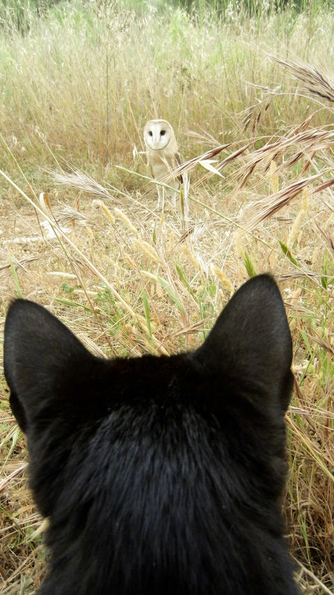 We see Gebra the barn owl over the ears of his bestie, Fum the house cat. They live in Tarragona, Spain.