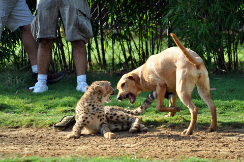 Mtani the dog tries to entice Kasithe the cheetah to get up and play some more at Busch Gardens in Tampa, Fla.