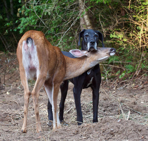 Kate the dog and Pippin the deer get close in Courtenay, British Columbia, Canada.