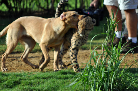 Mtani the dog and Kasithe the cheetah play at Busch Gardens in Tampa, Fla.