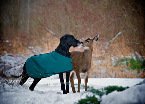 Kate the dog kisses Pippin the deer in Courtenay, British Columbia, Canada.