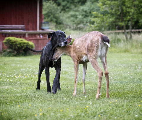 Kate the dog nuzzles with Pippin the deer in Courtenay, British Columbia, Canada.