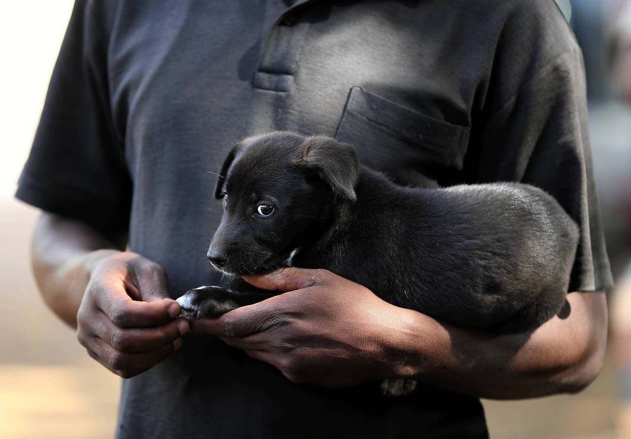 africa s scourge chicago s crusade a puppy is held by his owner as people wait to have their dogs administered rabies vaccines in bunda tanzania link to this photo