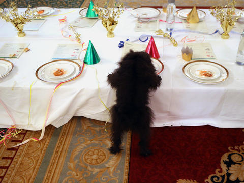 Margaret, a 6-year-old affenpinscher, snacks on a cheese plate at the Palmer House Hilton's fifth annual Doggie Tea Party. All proceeds from the event, held in the Empire Room, benefited The Anti-Cruelty Society. Go here to watch a video from the tea party.