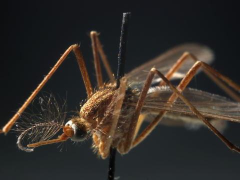 Culex pipiens mosquito specimens are part of the Field Museum collection. The mosquitoes are the main transmitters of West Nile. As of Sept. 12, Illinois had reported 92 cases and three deaths, two in DuPage and one in Kane County. Go here to read more about West Nile virus.