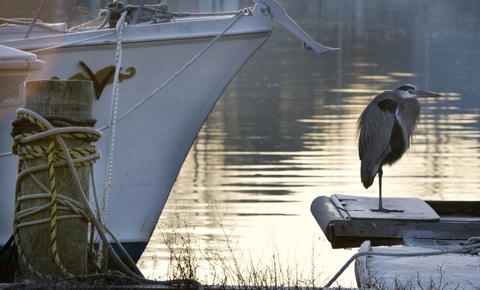 A Great blue heron rests on a the frosted stern of a deadrise workboat on Deep Creek early Tuesday morning in Newport News.