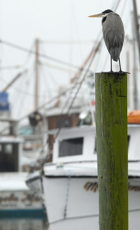 A great blue heron rests on a piling at Deep Creek Saturday morning as heavy fog blankets the area.
