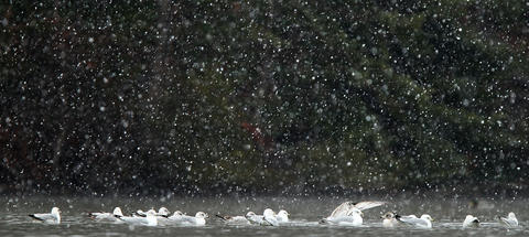 Gulls relax on the waters of Lake Maury as a light snow falls in Newport News Saturday