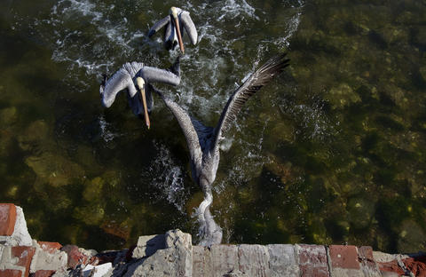 Pelicans dive to catch fish launched into Mill Creek with a student-made slingshot outside of Saint Mary Star of the Sea School in Phoebus on Friday.