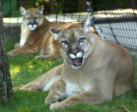 Neiko (foreground) and Lucy, brother and sister pair of rare Florida panthers, in their new habitat at Panther Springs, the new attraction at at Gatorland, in Kissimmee, Wednesday, April 10, 2013. (Joe Burbank/Orlando Sentinel) Newsgate CCI id: B582843060Z.1