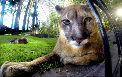 Lucy, one of the two sibling Florida panthers, in her new habitat at Panther Springs, the new attraction at at Gatorland, in Kissimmee, Wednesday, April 10, 2013. (Joe Burbank/Orlando Sentinel) PHOTOGRAPHED WITH REMOTE-OPERATED GOPRO CAMERA