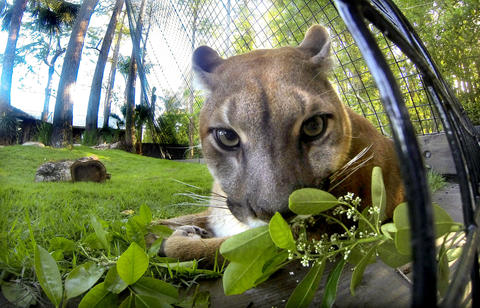 Lucy, one of the two sibling Florida panthers, in her new habitat at Panther Springs, the new attraction at Gatorland, in Kissimmee, Wednesday, April 10, 2013. (Joe Burbank/Orlando Sentinel) PHOTOGRAPHED WITH REMOTE-OPERATED GOPRO CAMERA