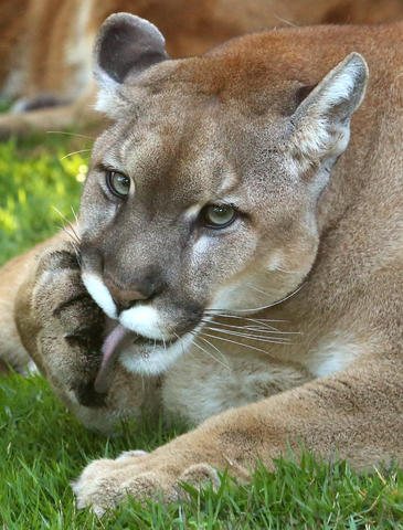 Neiko, one of the two sibling Florida panthers, in his new habitat at Panther Springs, the new attraction at at Gatorland, in Kissimmee, Wednesday, April 10, 2013. (Joe Burbank/Orlando Sentinel)