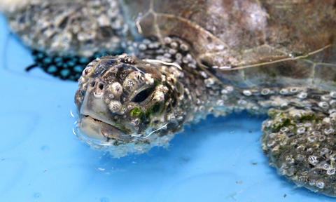 A barnacle-covered sea turtle during rehabilitation of the injured aniamls at the Sea Turtle Hospital at the Marine Science Center, in Ponce Inlet, Fla., Friday, April 19, 2013. (Joe Burbank/Orlando Sentinel) cci ID Newsgate# .B582862214Z.1